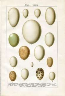 1890 Brehms BIRD EGGS Antique Chromolithograph Print