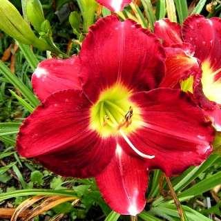 BIG APPLE DAYLILY  DF   LIVE PLANTS   PERENNIALS