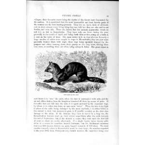NATURAL HISTORY 1894 SABLE WEASEL FAMILY WILD ANIMAL