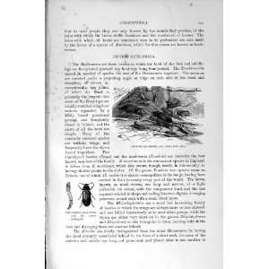 NATURAL HISTORY 1896 OIL BEETLES LARVAE INSECTS WORM: Home & Kitchen
