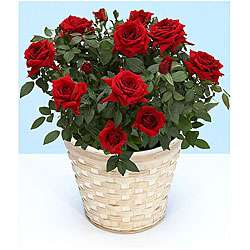 Valentines Day Pre order) Potted Red Rose Plant