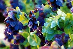 Cerinthe   Purple Shrimp Plant, Blue Wax Flower Seeds